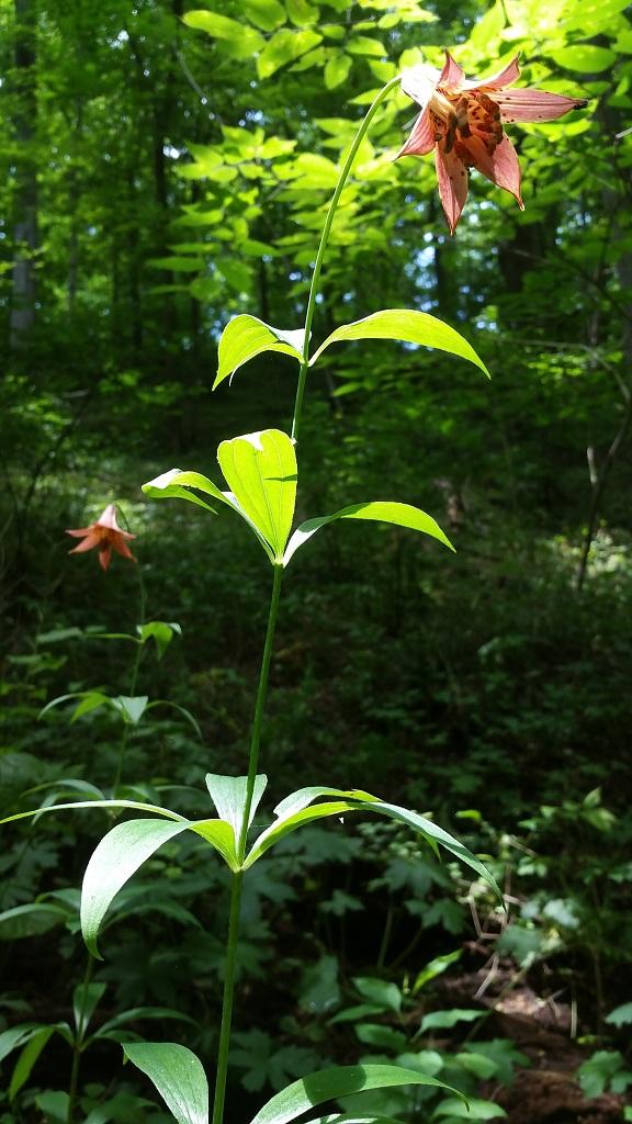 Canada lily, Lilium canadense