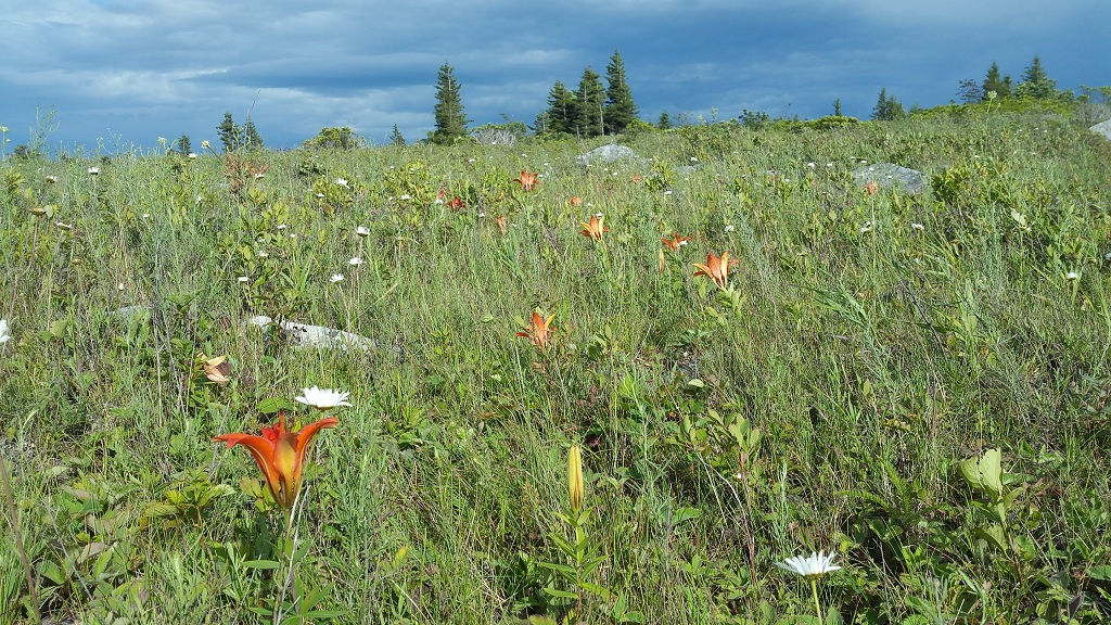 Prairie lilies at Dolly Sods