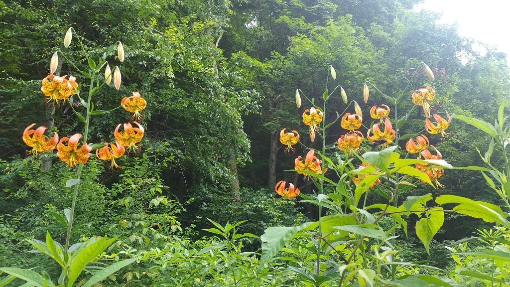Turk's cap lilies, Lilium superbum