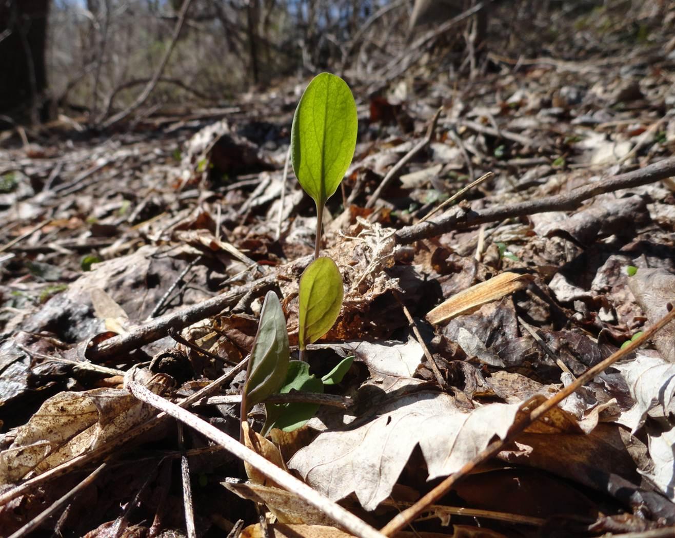 Mertensia virginica seedling
