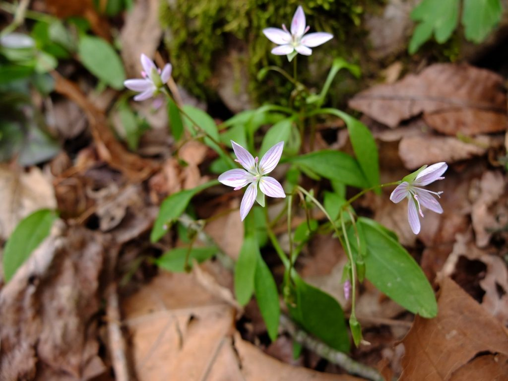 Carolina spring beauty, Claytonia caroliniana, at The Pocket on Pigeon Mountain in Georgia.