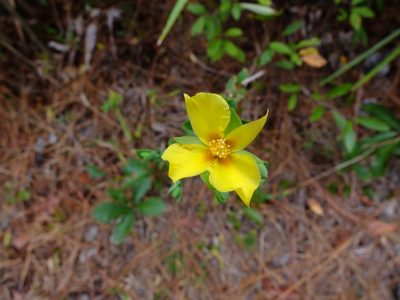 A Hypericum species, perhaps Hypericum edisonianum. St. John's Wort family, Hypericaceae.