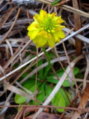 Yellow milkwort, Polygala rugelii. Milkwort family, Polygalaceae.