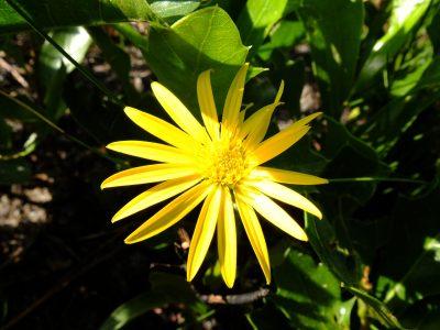 Narrowleaf silkgrass, Pityopsis graminifolia. Asteraceae.