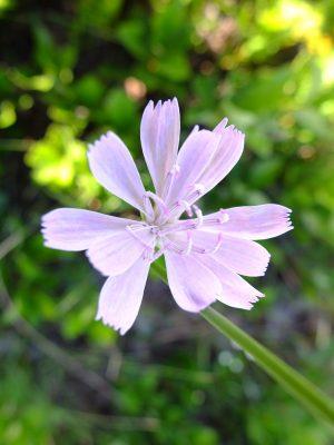 """Lygodesmia aphylla, """"rose rush."""""""