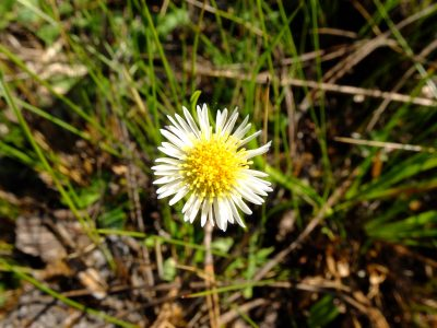 Early whitetop fleabane, Erigeron vernus. Asteraceae.