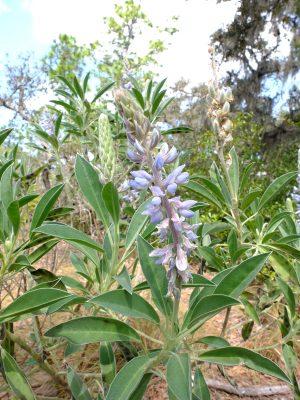 Lupinus cumulicola. Fabaceae.
