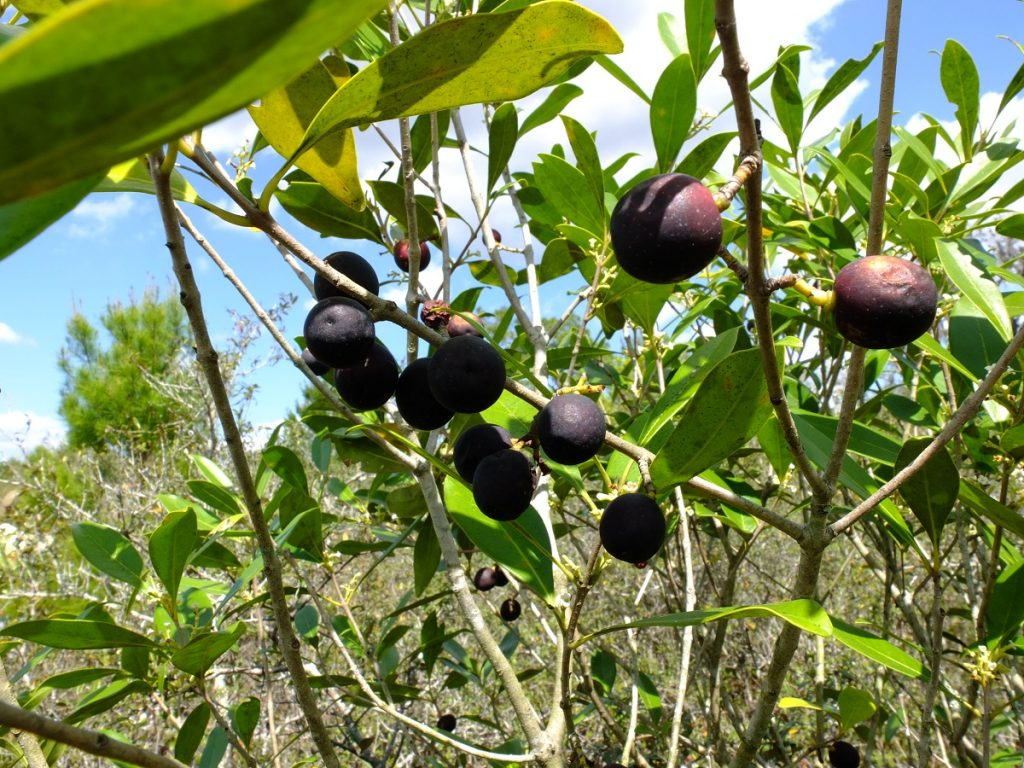 Cartrema floridana, a wild olive in the Oleaceae endemic to the southeastern coastal United States and common among the Florida scrub.