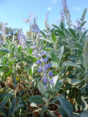 Sky-blue lupine, Lupinus cumulicola. Bean family, Fabaceae. Recently described to science and not yet ranked.