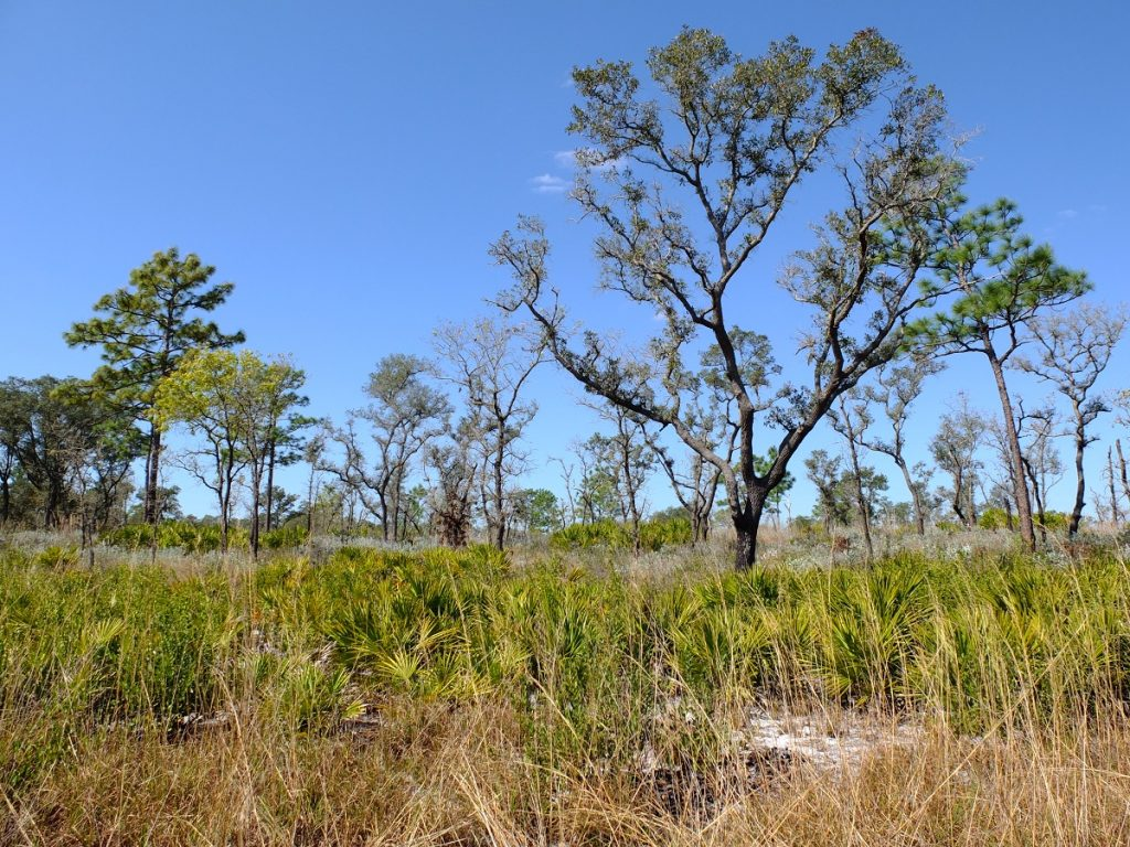 "Quercus geminata, an evergreen ""sand live oak"", and Pinus palustris, among other trees in a sandhill savanna landscape."