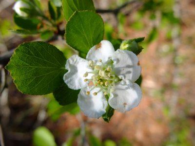 Dwarf hawthorn, Crataegus lepida. Rosaceae.