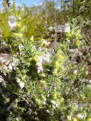 "Short-leaved false rosemary, Conradina brevifolia, one of central Florida's many narrow endemics, and federally listed as ""at risk."" In the mint family, Lamiaceae."