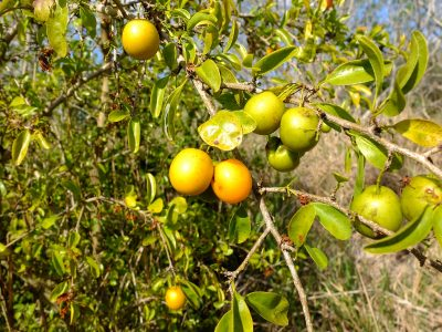 Ximenia americana, commonly known as hog plum, tallow wood, or sea lemon.
