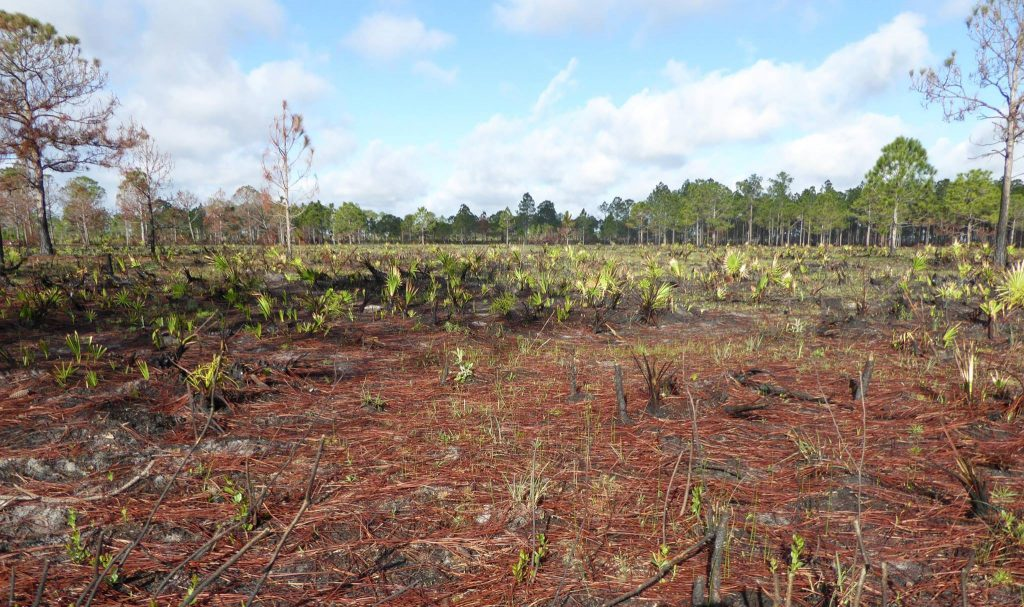 Longleaf pine (Pinus palustris) site post-burn. Photo by Edwin Bridges.