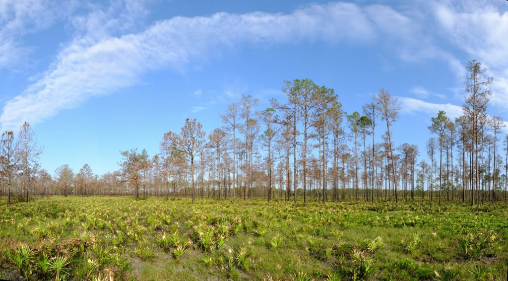Florida slash pine savanna