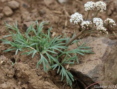 "Lomatium gormanii, known as salt and pepper, biscuitroot, ""sycan,"" and ""chewaucan."""