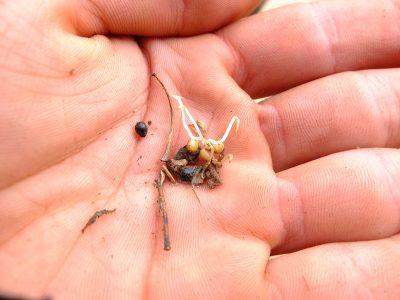 Camassia quamash germinating