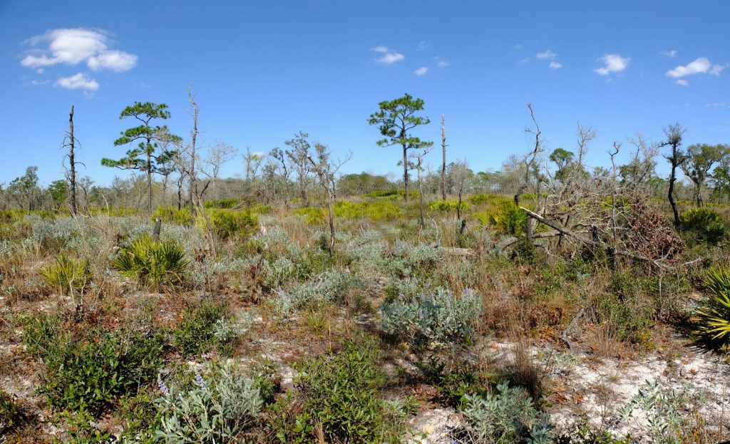 The incredible sandhill savannas of the Tiger Creek Preserve in Polk county, Florida. The preserve sits atop the Lake Wales Ridge, central Florida's oldest and highest land mass.