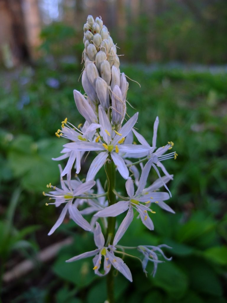 Camassia scilloides, our eastern woodland native camas