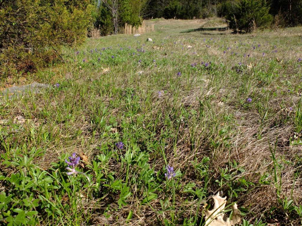 Pediomelum subacaule growing abundantly in shortgrass prairie.