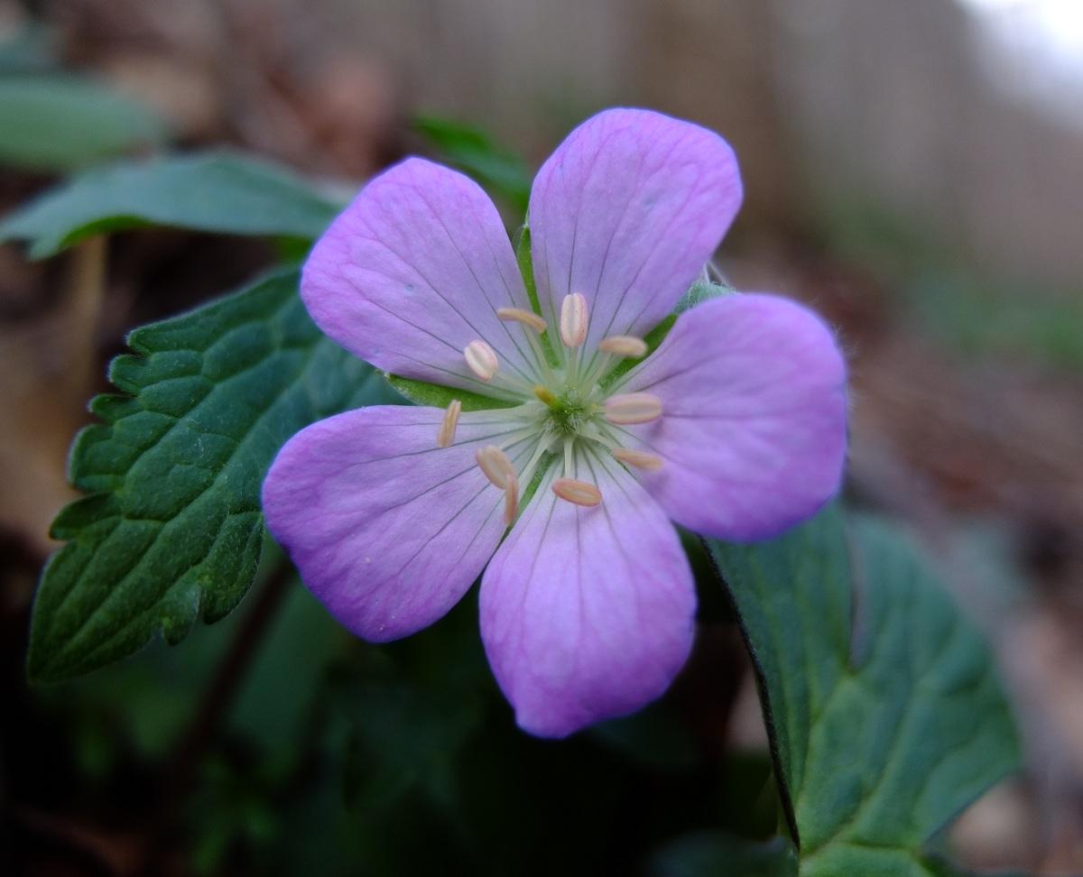 Spotted Geranium flower close-up