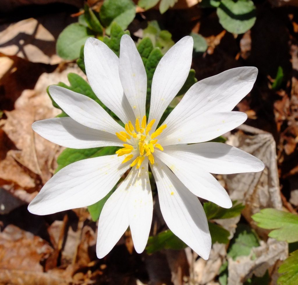 Bloodroot flower close-up