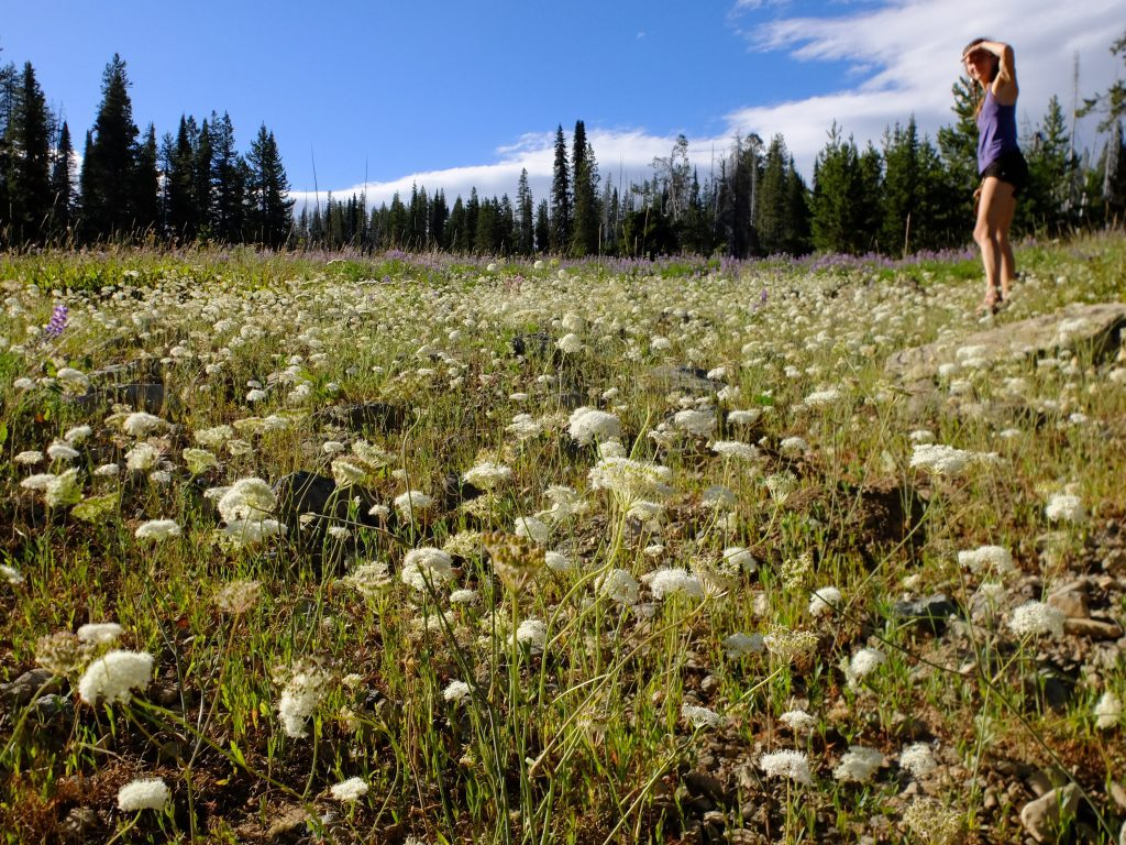 Field of yampah (Perideridia gairdneri) in Wallowa-Whitman National Forest. Photo by Kollibri Sonne-Terrablume.