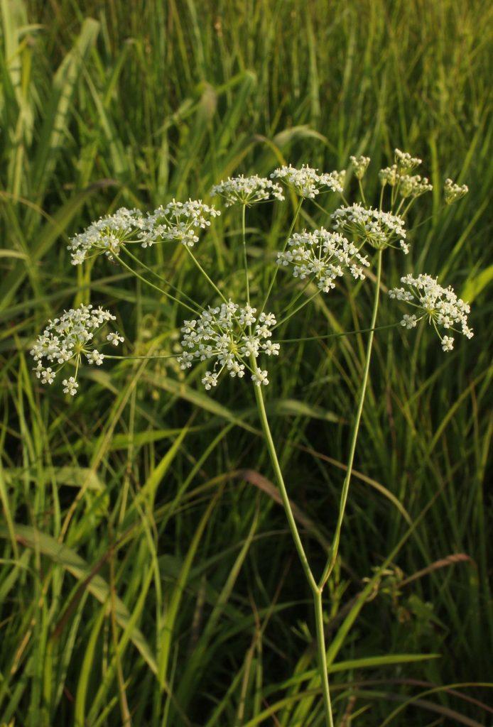 Perideridia americana -- eastern yampah -- in its habitat.