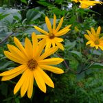 Helianthus tuberosus in flower