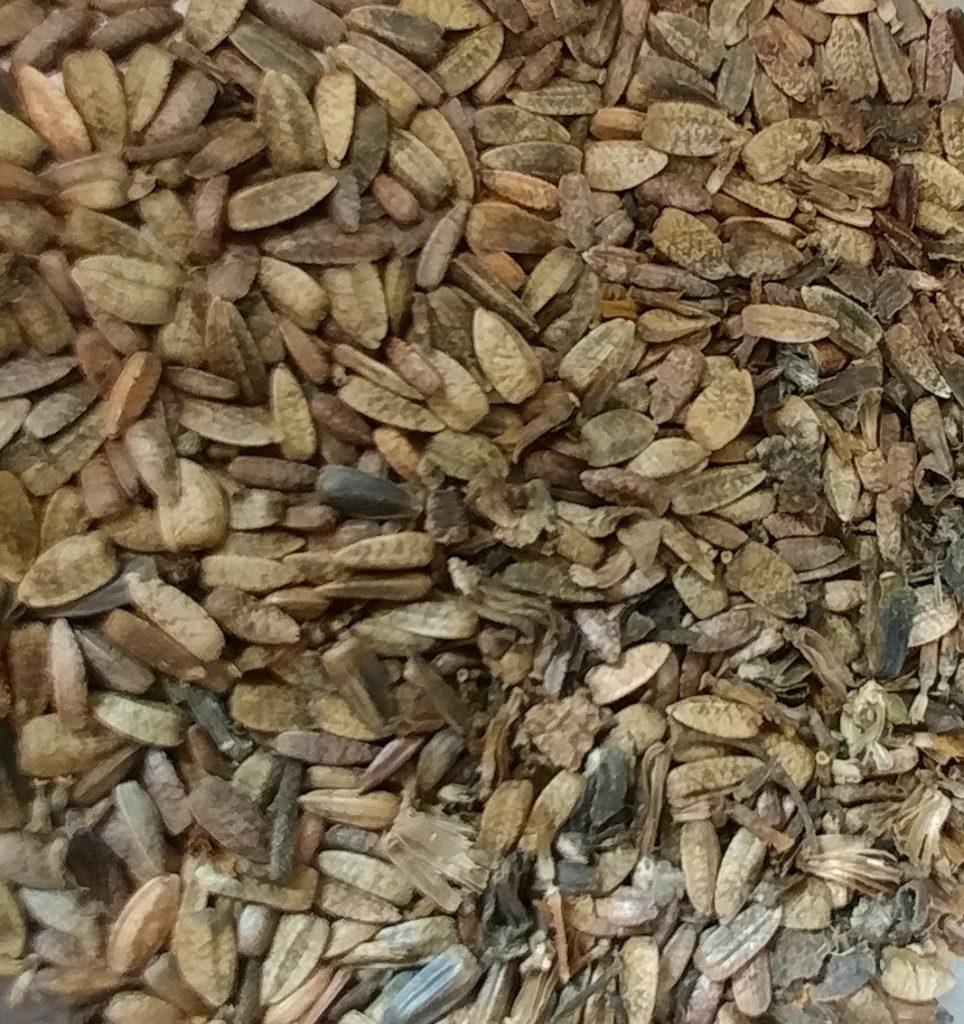 Helianthus tuberosus seed harvest 2017