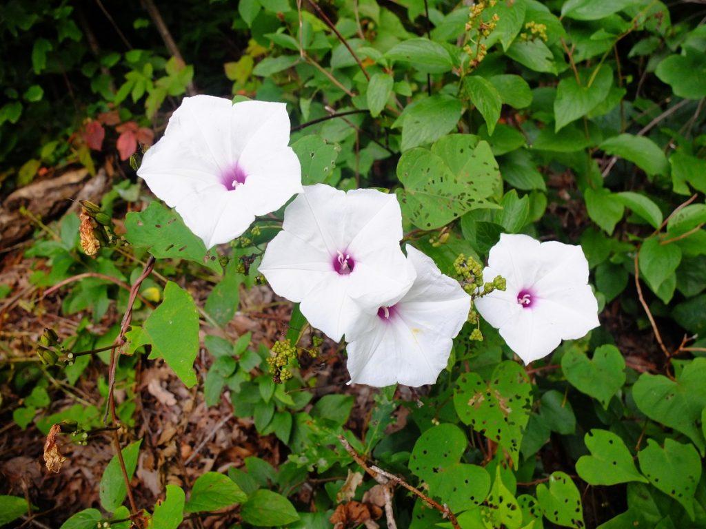 Ipomoea pandurata -- a wild sweet potato vine in the morning glory family