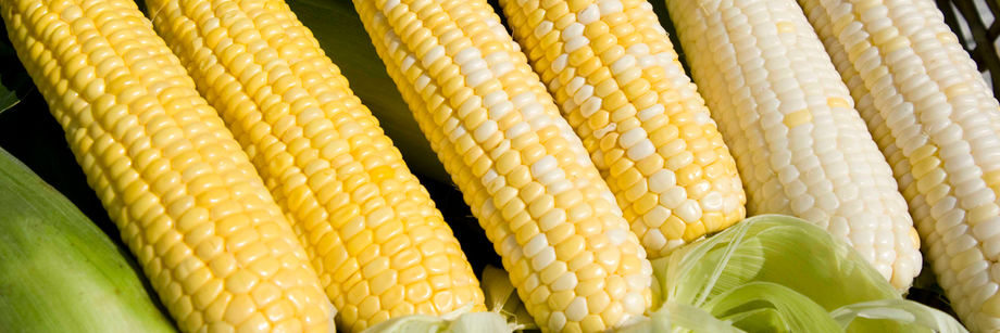 Not a lot of variation in the grains of this sweet corn (image: Johnny's Seeds)