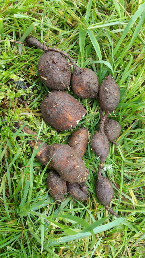 The Diggers of Groundnuts  6538fbfa051ea